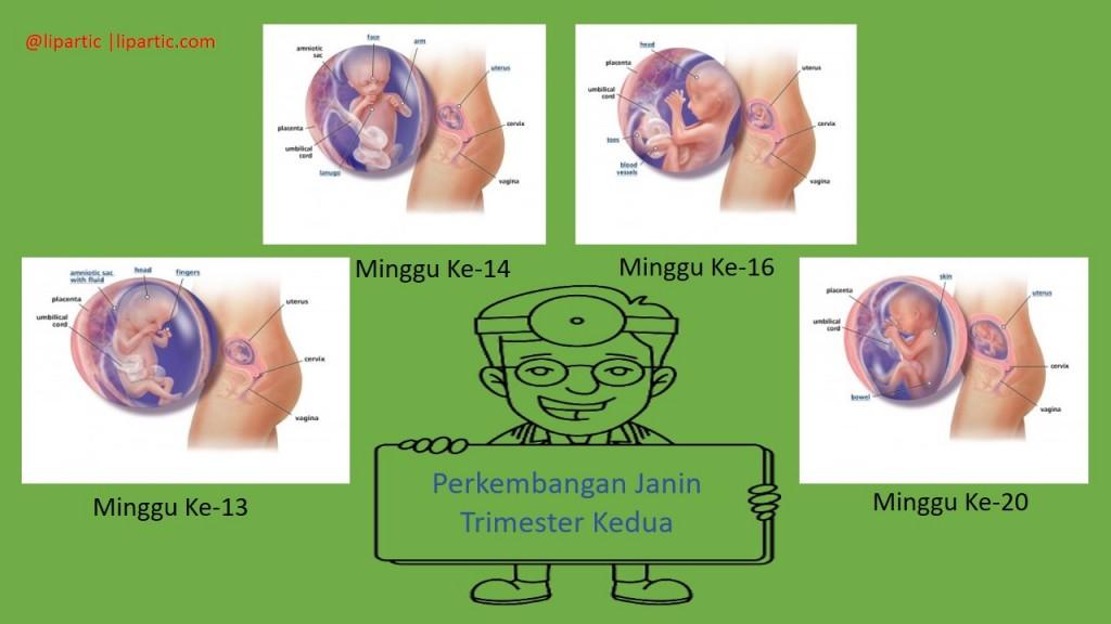 perkembangan janin trimester kedua