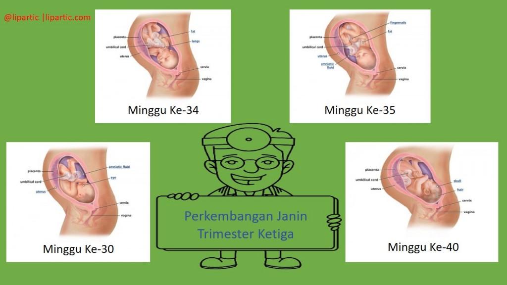 perkembangan janin trimester 3